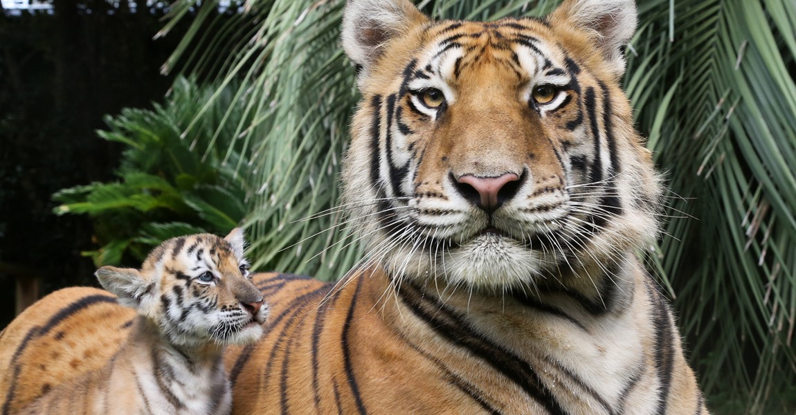 1150x650-tigers-web-banner