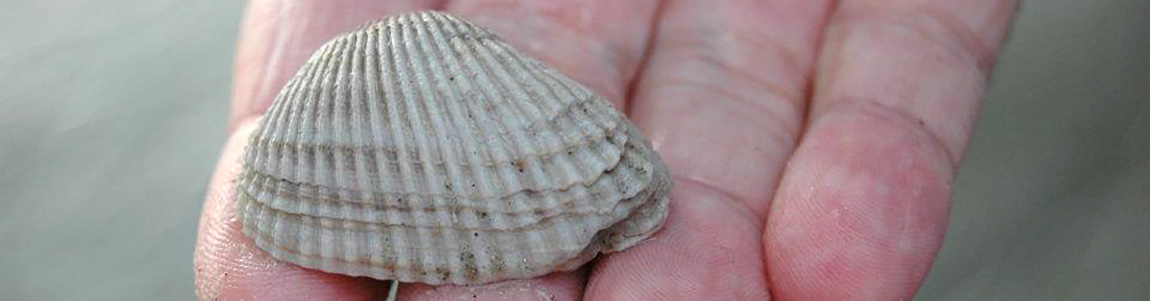 Shell Collecting in Myrtle Beach
